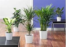 pflanzen für wohnzimmer der ficus im wohnzimmer die calathea im bad die