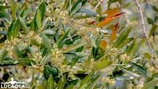 fiori di ulivo i fiori dell olivo foto hdr