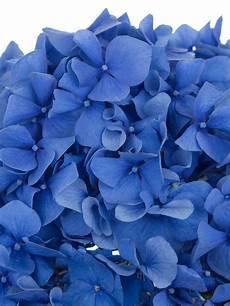 hortensien umpflanzen september hortensie quot pimpernel quot blau hochzeitsblumen hortensien