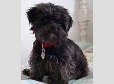 Affenpinscher Breed Pictures and Information   Only Dog Breeds