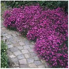 Blumen Sonniger Standort - a dianthus by any other name napa master gardener