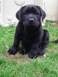 Hunde Ausmalbilder Labrador Tieranzeigen Labradorwelpe Kleinanzeigen