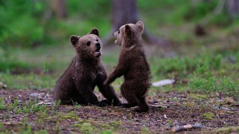 2 Bear Cubs Spark Small Fire In Banning After Climbing Up