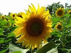 significato girasole nel linguaggio dei fiori frasi sul girasole ia52 187 regardsdefemmes