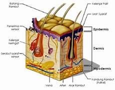 Pengertian Fungsi Struktur Dan Lapisan Kulit