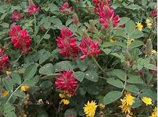 fiori e hedysarum coronarium