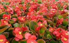begonie in vaso begonia flowers desktop hd wallpaper 15789