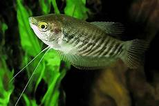 5 jenis ikan sepat dan harganya ikanesia id