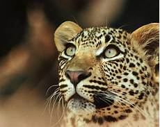 what is a jaguar called what are the spots on a jaguar or leopard s coat called