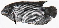 Penyuluhan Perikanan Pembenihan Ikan Gurame