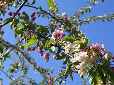 the tuesday tree ahh crab apple blossom time