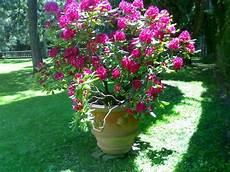 rododendro in vaso rododendro in vaso la finestra di stefania