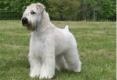 soft coated wheaten terrier haircut dog wheaten soft coated wheaten terrier dog breed information