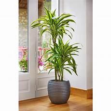 dracaena fragrans 3pp plantes vertes maison botanic