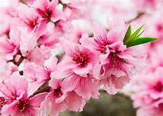 fiori di rosa fiori di pesco fiori di pesco significato simbologia e linguaggio dei