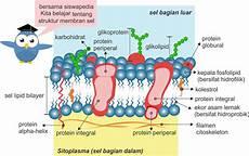 Struktur Membran Sel Lipid Bilayer