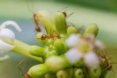 ameisen im beet ameisen im garten 187 arten bek 228 mpfung nutzen und mehr