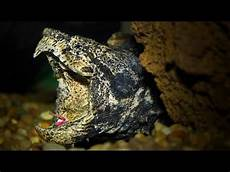 Alligator Snapping Turtle Si Kura Kura Buaya Nakama Aquatics