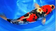 Cara Mencerahkan Warna Ikan Koi Secara Alami Mudah Dan