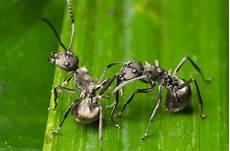 ameisen im garten ameisen bek 228 mpfen im garten haus hausgartenwissen de