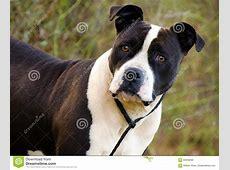 Bulldog In Bianco E Nero Amstaff Immagine Stock   Immagine