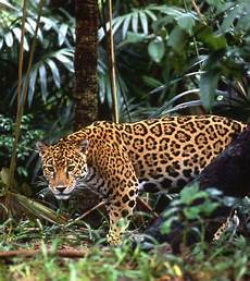 the elusive costa rica jaguar jaguar animal animals