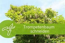 trompetenbaum schneiden trompetenbaum schneiden