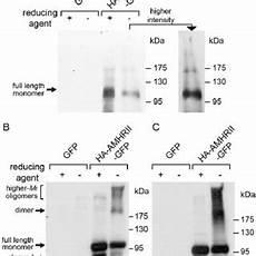 pdf constitutive negative regulation in the processing of the anti mullerian hormone receptor