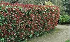 Welche Pflanzen Als Sichtschutz - sichtschutz die 12 besten heckenpflanzen garden