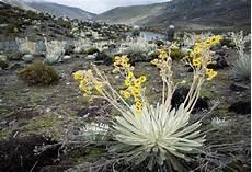 arbol del estado tachira flora del estado tachira