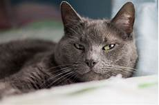 blue cats facts about russian blue cats