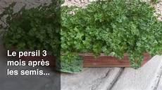 semer le persil comment semer le persil