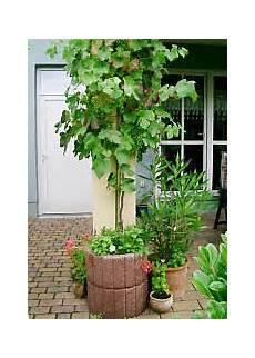 pflanzen im kübel climbing plants in tubs and pots selection cultivation