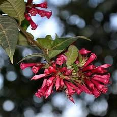 arbustes à fleurs rouges arbuste 224 fleurs rouges liste ooreka