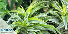 Pflegeleichte Zimmerpflanzen 8 Bl 252 Hende Und Gr 252 Npflanzen