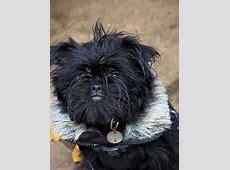 Affenpinscher Pictures and Informations   Dog Breeds.com