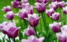 Tulip Image Desktop