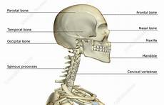 Diagram Of The Throat Bone by The Bones Of The And Neck Stock Image F001 5907