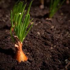 wann zwiebeln stecken steckzwiebeln pflanzen 187 vom stecken bis zur ernte
