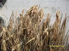 Bambus Braune Blätter - garten anders bambus wirkung und frostvertr 228 glichkeit
