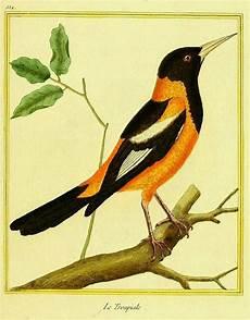 dibujo del turpial aves de venezuela con historias