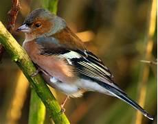 ein buchfink am zweig warum auch nicht vogelarten