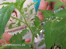 wie und wann geize ich tomaten aus gartenmoni altes