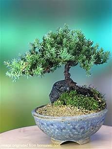 a 5 year juniper bonsai tree in japanese setku bowl