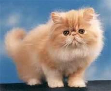gatti persiani immagini altogether da chieti chieti un gatto spaziale
