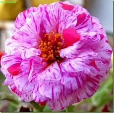 ca fiore portulaca grandiflora foto fiori