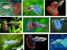 Gambar Ikan Guppy Hias Dan Got Atau Parit Dari Lokal Indonesia