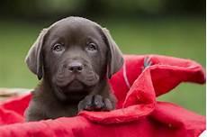 Hunde Ausmalbilder Labrador Labrador Of Angelgoods Welpe Foto Bild Tiere