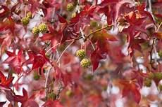 Amberbaum Oder Seesternbaum Liquidambar Bestaunen