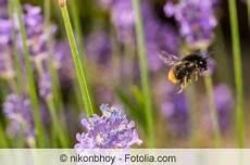 lavendel gegen wespen wespennest wespen hornissen ratgeber